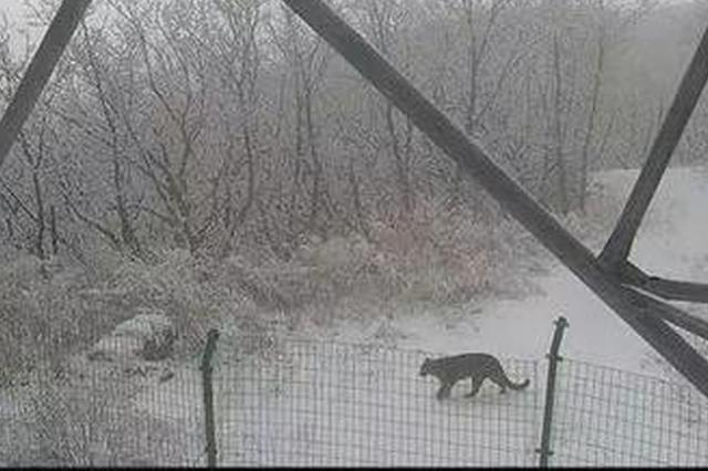 东北豹散步高清视频曝光!吉林省这地方有36只