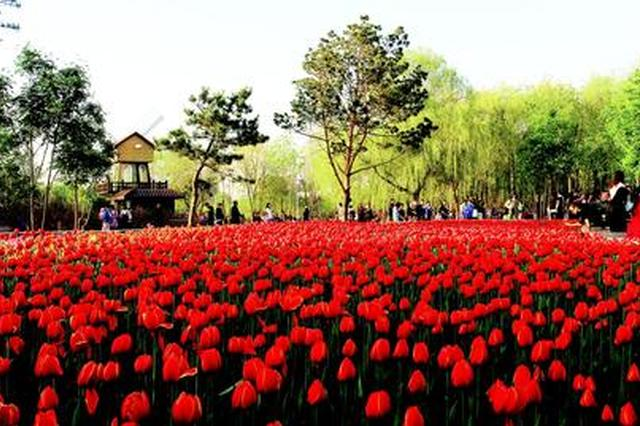 长春公园郁金香最佳观赏期将在5月中旬达到巅峰