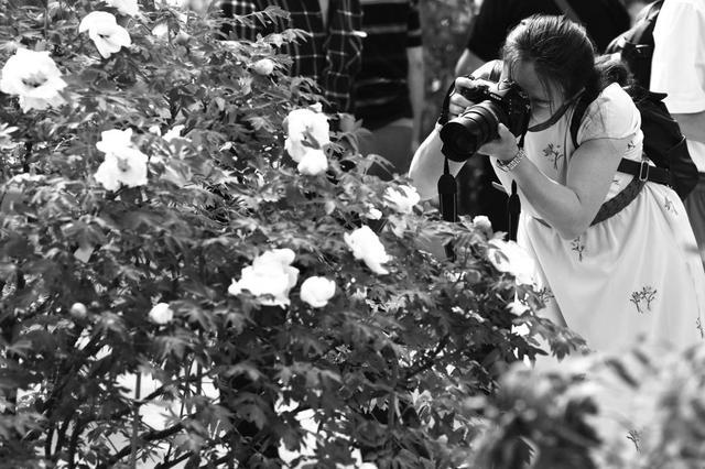 长春市牡丹园里的花开啦 预计盛花期在20日左右