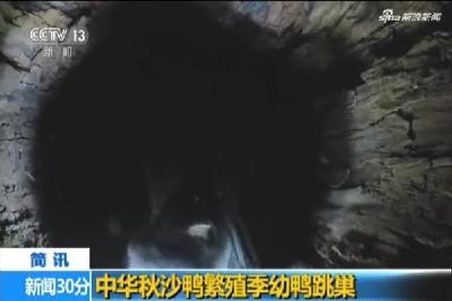 吉林长白山保护区直击中华秋沙鸭繁殖季幼鸭跳巢