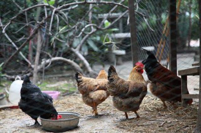延吉一居民楼下养鸡污染环境 社区城管联合叫停
