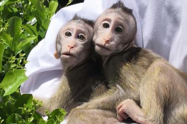 中国体细胞克隆猴健康成长 研究下一步将做疾病模型