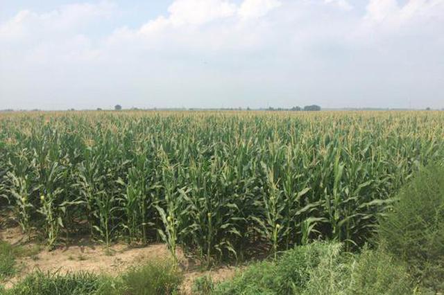 东北调研第二天:吉林公主岭玉米今年预计减产2到3成