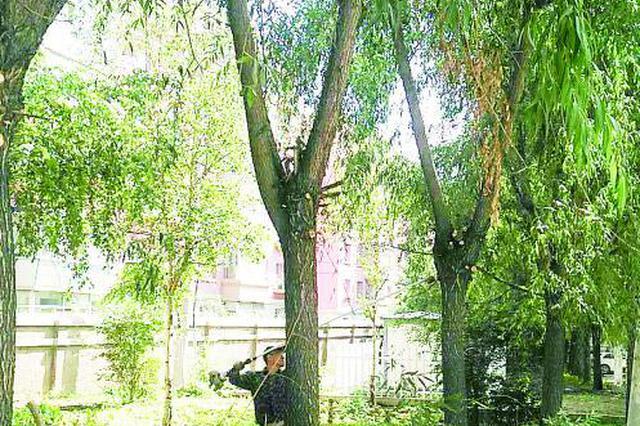 园林工人正在修剪创新花园的挡光大树。 袁迪 摄