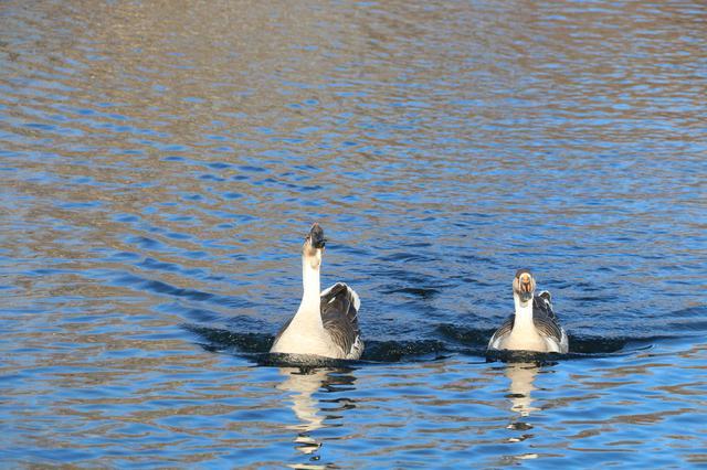 二道白河可爱多 大鹅划水怡然自得