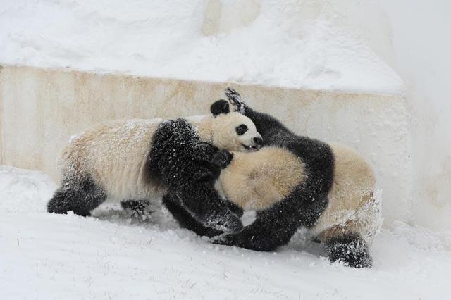 """长春迎降雪 """"功夫""""大熊猫雪中撒欢"""
