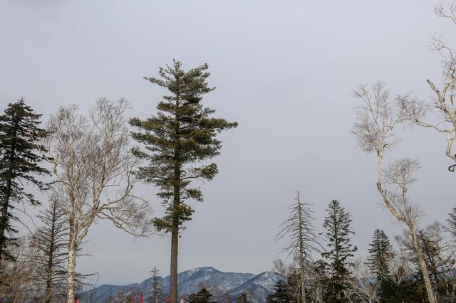 北大壶雪场 山上的青松白桦姿态各异