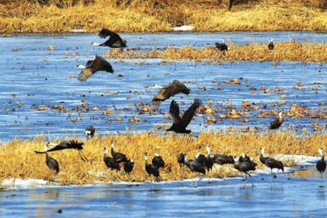 两千多只白头鹤在九台湿地停歇