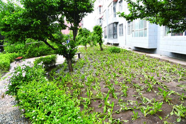 """长春市超达家园""""小菜园""""又变回绿地了"""