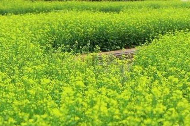 长春公园魅力花海:5000平油菜花流光溢彩