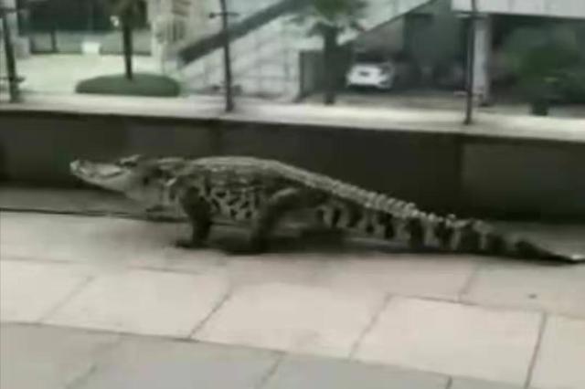 安徽芜湖有鳄鱼上岸?实为娱乐场所表演鳄鱼