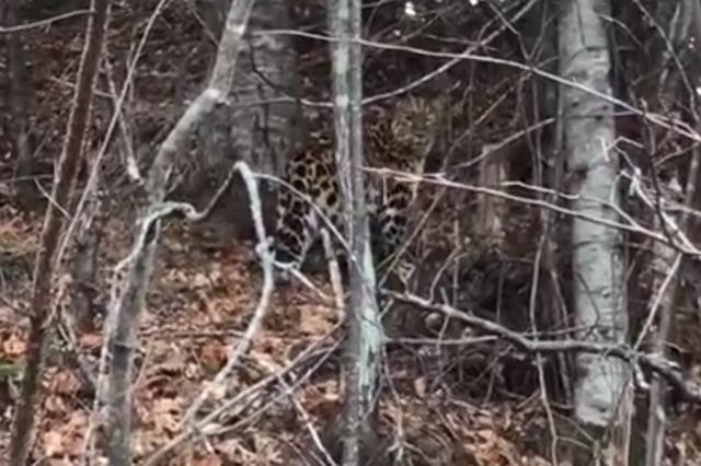 珲春电力工人巡线途中发现野生东北豹