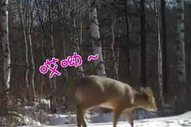 东北虎豹国家公园首次记录到珍稀物种——獐