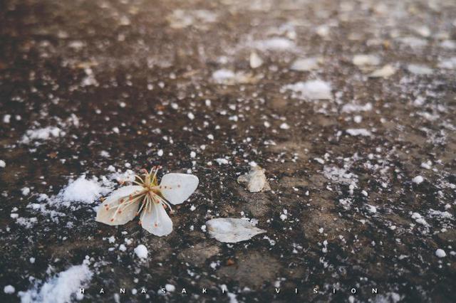 长春四月下旬飘雪 雪中花蕾格外喜人