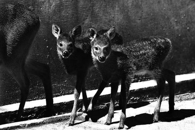 两只河麂宝宝 在吉林省诞生