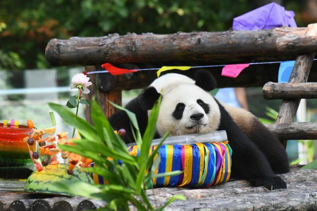 """吉林大熊猫""""初心""""与""""牧云""""迎来4岁生日"""