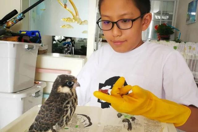 吉林市五年级学生路边拾到大鸟 查询发现是保护动物燕隼