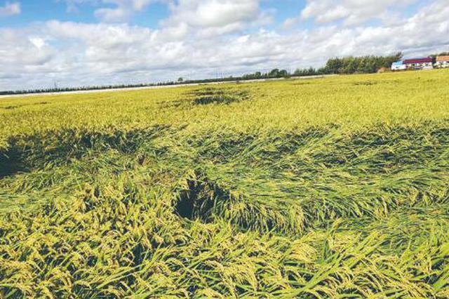 台风过后农作物倒伏如何补救?长春农业专家给出建议