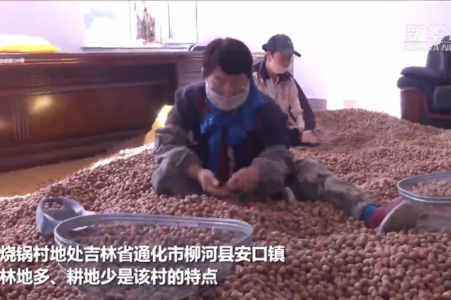 """通化市柳河县:这里的树""""榛""""致富"""