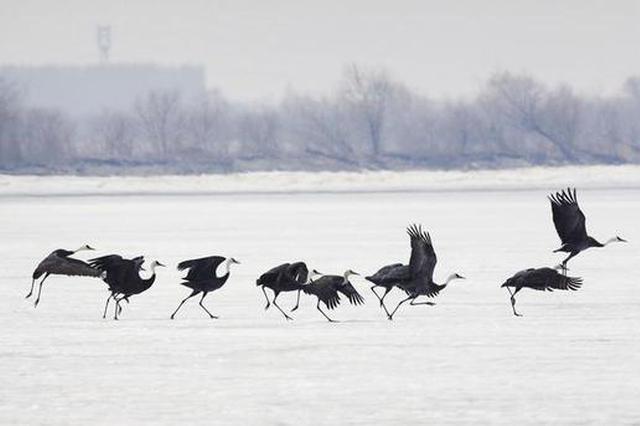 2000多只白头鹤如期到九台湿地保护区停歇觅食