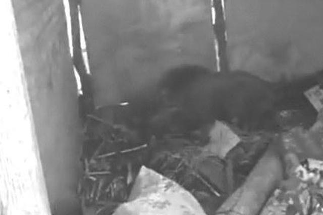 吉林市180公斤野猪进村伤人 为避免再伤人被击毙