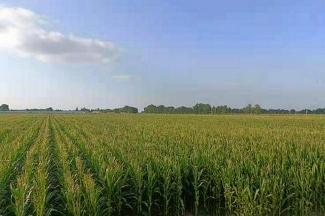 松原市乾安县大遐畜牧场的玉米地。 左雨晴 摄