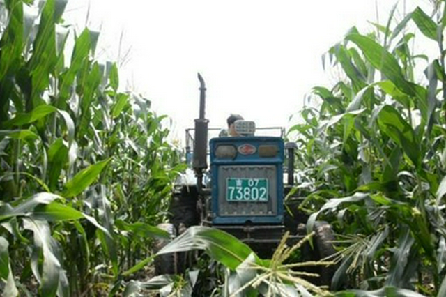 吉林农民正在收获鲜食玉米。新华社记者徐子恒摄