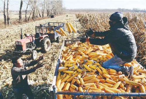 10月28日,榆树市于家镇恒道村村民在收玉米。全市预计10月31日前完成玉米收获任务。在连续3次遭遇台风的情况下,榆树市受灾程度较轻,今年粮食产量有望高于去年。 李天 摄