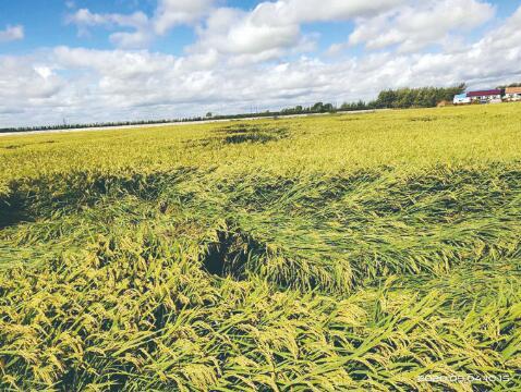 水稻倒伏。 梁闯 摄