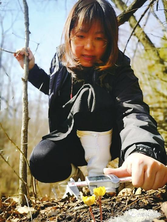 长春市林科院副院长代新竹测量冰凌花生长情况