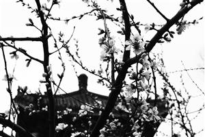 一场春雨抚过枝头,叫醒了杏花。石天蛟 摄