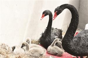 黑天鹅爸爸妈妈时刻关注着宝宝们。石天蛟 摄