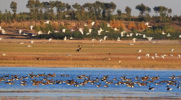 """吉林省莫莫格湿地的""""候鸟风暴"""""""