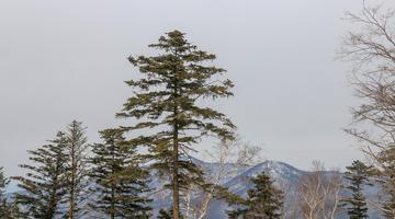亭亭山上松 雪山上的青松姿态