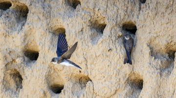 吉林镇赉新发现崖沙燕繁殖点