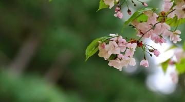 樱花盛开的模样