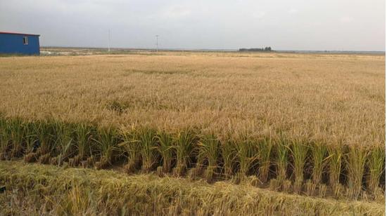 盐碱地上种植出水稻