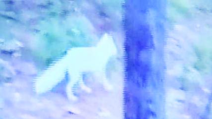 小白狐现身 视频截图