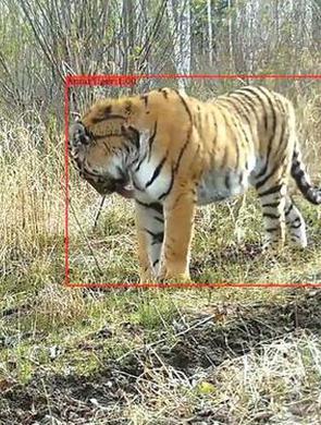 吉林省再一次拍到野生东北虎
