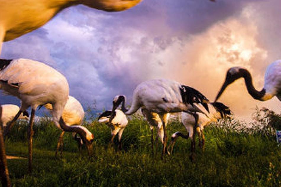 鸟类天堂向海 夕阳下的丹顶鹤