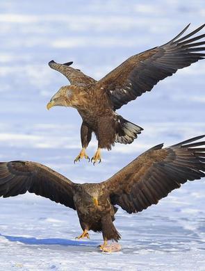 吉林珲春敬信湿地上演猛禽争食
