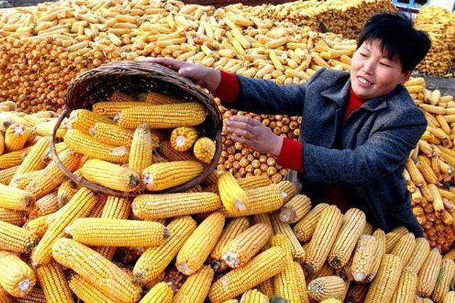 吉林省新粮收购突破100亿公斤 购销两旺量价齐增
