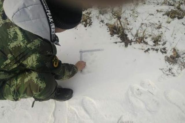 雪地上留下清晰的虎印 天桥岭林业局供图