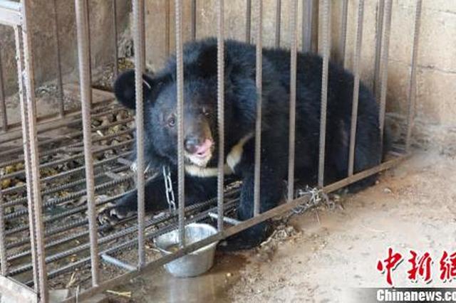 村民误把黑熊当狗养 3年后把它养到80公斤(图)