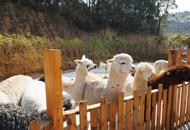 抓土鸡喂羊驼 玩转农家乐