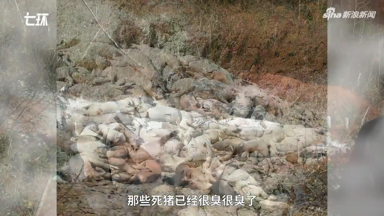 景德镇一养猪场大批死猪 村民称整改一个月未解决