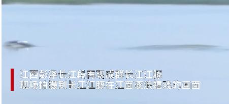近日,威尼斯人真人彭泽长江段再现成群长江江豚。