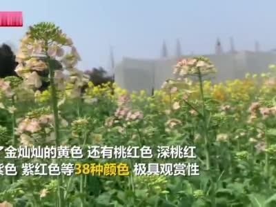江西农业大学付东辉教授及团队培育38色油菜花
