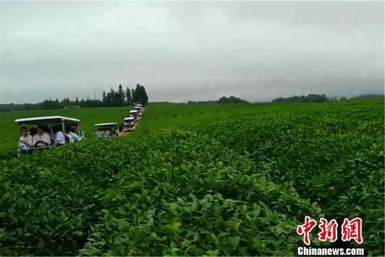 2018年5月7日,江西省抚州市一处标准茶园。中新网记者 王剑 摄