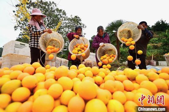 """江西赣南老区迎""""金色收获季"""",果农装运脐橙忙。资料图 朱海鹏 摄"""